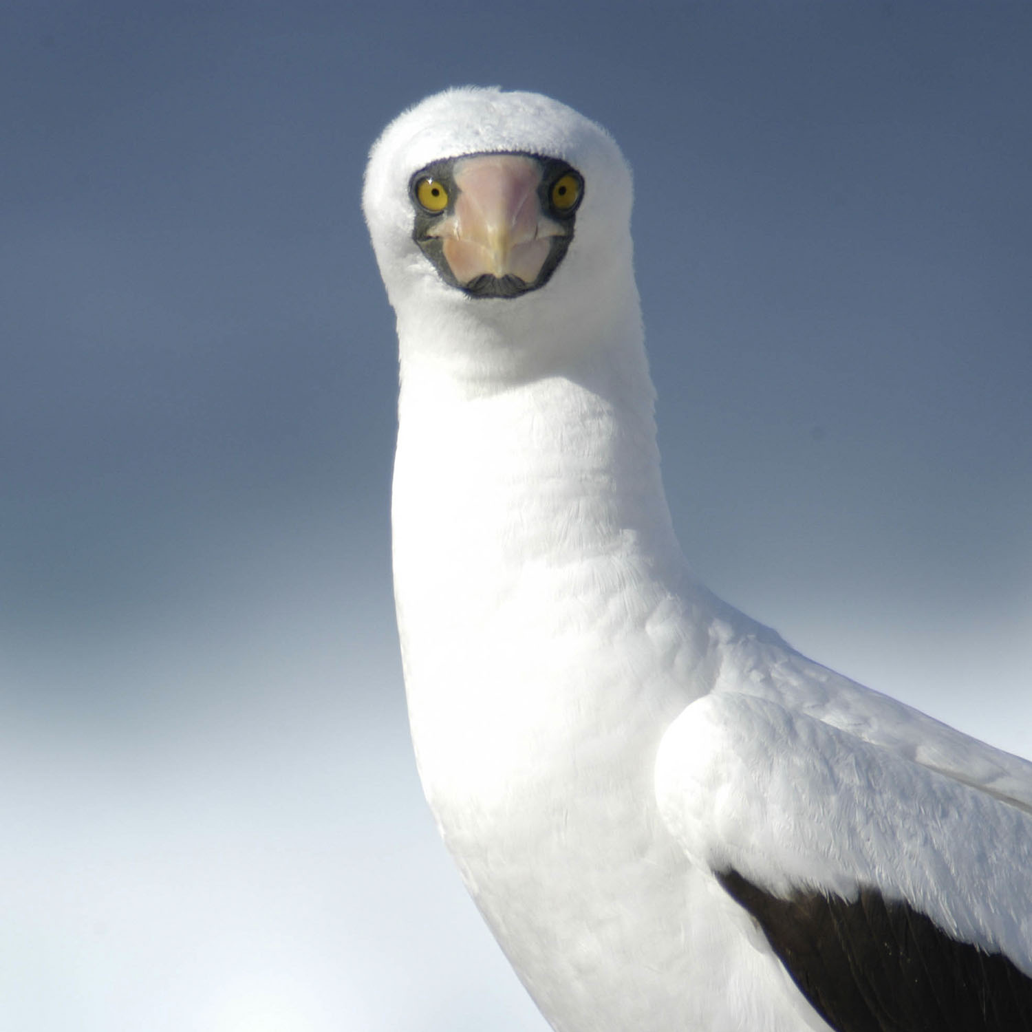 1500_0001_Masked Booby 1