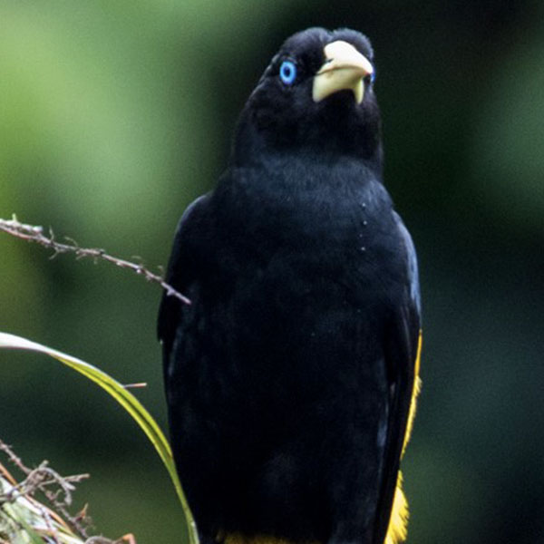 600_0000_Yellow_ Rumped_Cacique_Fauna_The_Most_Biodiverse_Place_On_Earth_Experiences_Anakonda_Amazon_Cruises