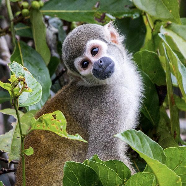 600_0001_Squirrel_Monkey_Fauna_The_Most_Biodiverse_Place_On_Earth_Experiences_Anakonda_Amazon_Cruises