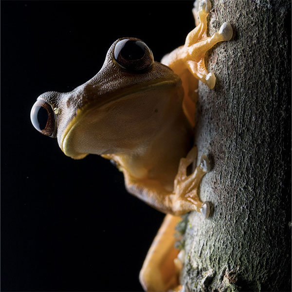 600_0004_Glass_Frog_Fauna_The_Most_Biodiverse_Place_On_Earth_Experiences_Anakonda_Amazon_Cruises