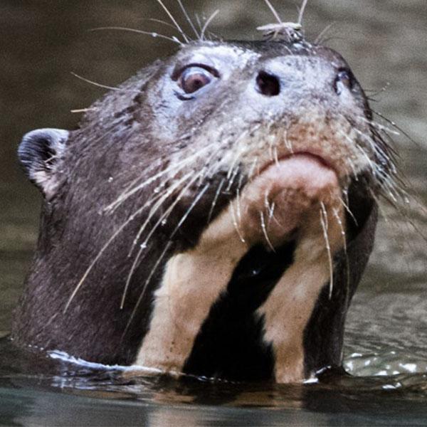 600_0005_Gigant_River_Otter_Fauna_The_Most_Biodiverse_Place_On_Earth_Experiences_Anakonda_Amazon_Cruises